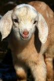 Goat Kids 09. Nubian goat kids laying in the warm spring sun Stock Photo