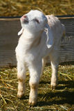 Goat Kids 0902 stock photography