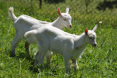 Goat kids Royalty Free Stock Photography