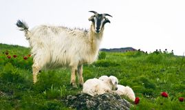 A goat and kids Stock Image