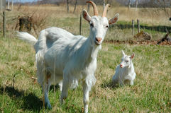 Goat with kids Stock Photo