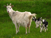 Goat and kids Stock Image