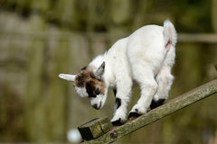 Goat kids climb Royalty Free Stock Photos