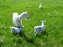 Goat and kids on a pasture Royalty Free Stock Photo