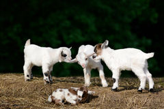 Goat kids Stock Photo