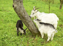 Goat and kids Royalty Free Stock Image