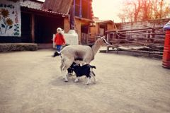 Goat with kids Royalty Free Stock Photos