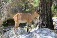 Goat kri-kri Royalty Free Stock Image