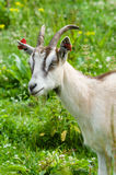 Goat with label on ears Royalty Free Stock Image