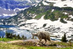 Goat and Lake. Glacier National Park -  Here is another one of those mountain goats that seem to follow us around.  You have to admit, they live in a picture Stock Photo