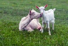 Goat and lamb Stock Photo