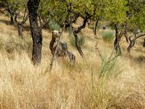 Goat and lamb standing among the dry meadow trees Stock Image