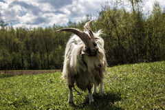 Goat in landscape Stock Photos