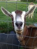 Goat!. Goat in Laramie, Wyoming Stock Photography