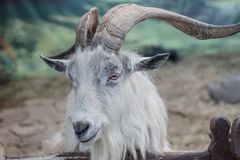 Goat with large curved horns head. Close-up royalty free stock images