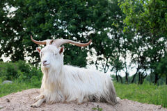 Goat with large horns. Long hair goat with large horns Royalty Free Stock Images