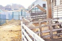 Goat Larissa in the rural zoo stock photo