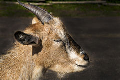 Goat lay on asphalt and close eyes Royalty Free Stock Photo