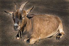 Goat lay on asphalt and feel calm Stock Photography