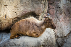 Goat laying down on hill Stock Photos