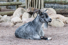 Goat laying on the ground Stock Photos