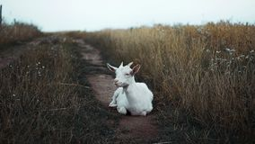 Goat lays on the road royalty free stock images
