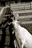 Goat leans on fence(black and white) Royalty Free Stock Photo