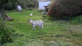 Goat on  leash in the Russian village. Goat on a leash in the Russian village stock footage