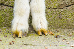 Goat legs close up Stock Image