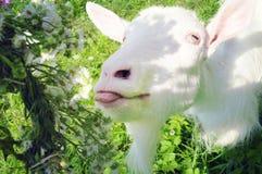 Goat licks flower wreath Royalty Free Stock Photo