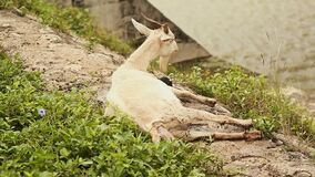 The goat lies and gives birth to her child on the grass by the pond. Births in goats. stock video