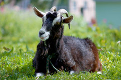 Goat lies on the grass Stock Images