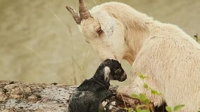 The goat lies on the grass next to the pond with a black newborn baby. stock footage