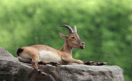 Goat lies Royalty Free Stock Photo