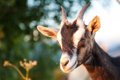 The goat. A little  goat in the mountain Royalty Free Stock Images