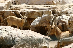 The goat lives in the zoo Stock Images