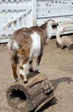 Goat on a  log Royalty Free Stock Image