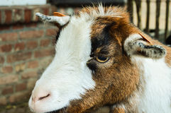 Goat. A lonely goat near the stable Royalty Free Stock Images