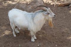 Goat Long Beard and Horns Stock Photos