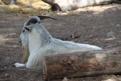 Goat Long Beard and Horns Stock Image