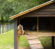A goat with long ears in florida. An ewe relaxing in front of its shelter royalty free stock photo