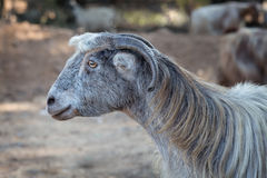 Goat with long gray hair. Israel Royalty Free Stock Photo