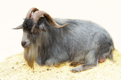 Goat with long horns Stock Images
