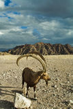 Goat Long Horns Royalty Free Stock Photos