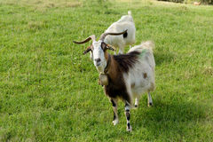 Goat with long horns Royalty Free Stock Images