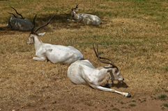 Goat with long horns lying on the ground royalty free stock photos