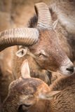 Goat. Look around in zoo stock photography