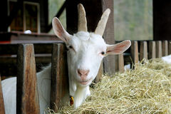 Goat looking into the camera. With a questioning look Stock Image
