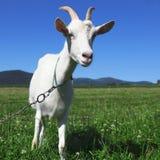 Goat looking at camera Royalty Free Stock Image