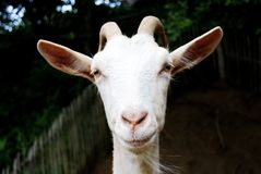 Goat is looking in the camera face stock image